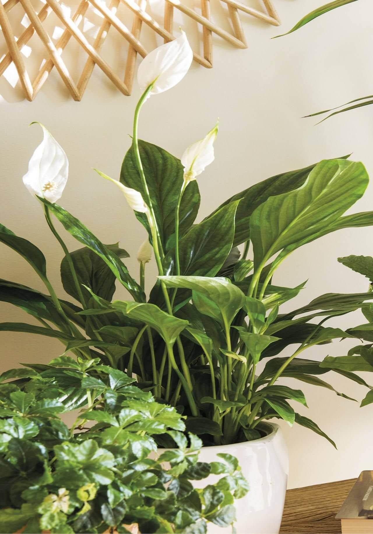 plantas tipo ficus de interior